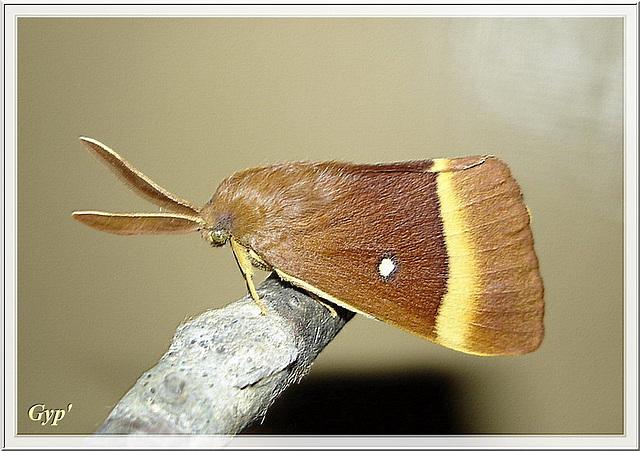 Lasiocampa quercus mâle