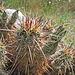 Cactus (0567)