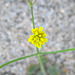 Little Yellow Flower In Question (0590)