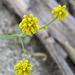 Little Yellow Flower In Question (0591)