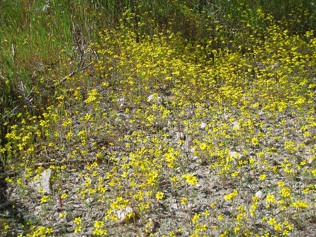 Yellow Flowers (0573)