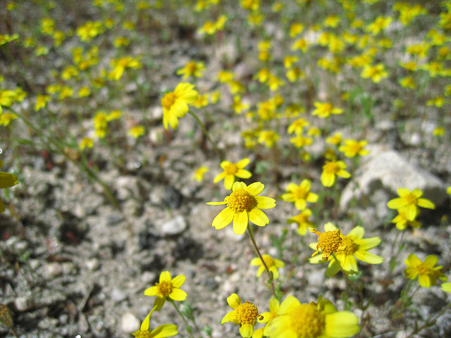Yellow Flowers (0574)