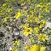 Yellow Flowers (0574)