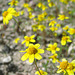 Yellow Flowers (0574A)