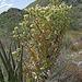 Yucca (0602)