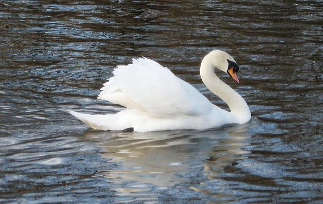 Swan en route