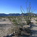 Ocotillo in Camp Iron Mountain (0094)