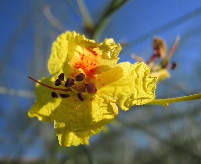 Palo Verde Bloom (0059)