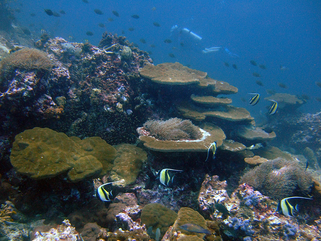 Heniochus fish over a coral bank