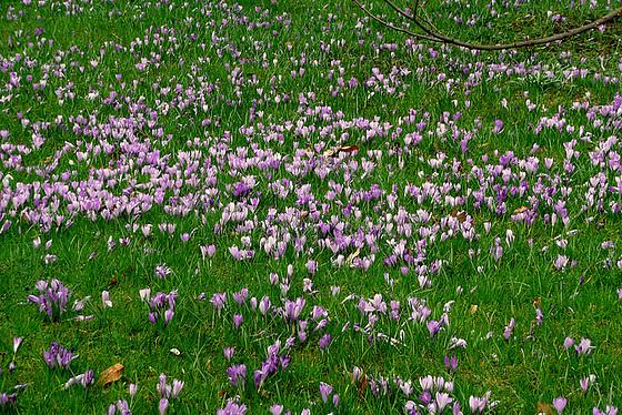 Die Krokoswiese im  Schloßpark Pillnitz
