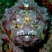 Stonefish portrait