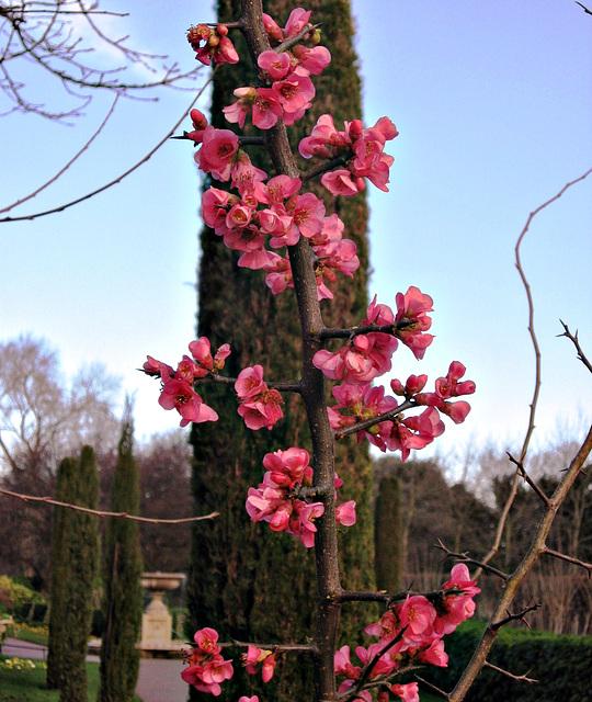 IMG 3627 pink blossom
