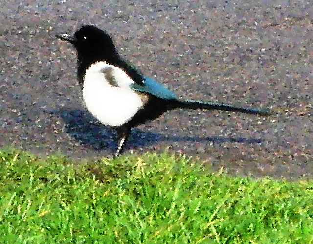 IMG 3644 magpie