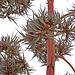 Agave Flower (0227)