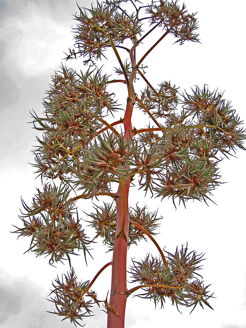 Agave Flower (0228)
