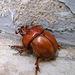 Beetle (0179)