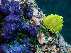 Soft corals in different colors