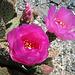 Cactus Flowers (0198)