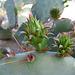 Cactus Growth (0260)