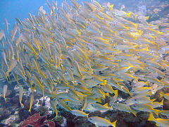 A swarm of yellow snappers