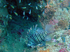 Pterois known as lion fish