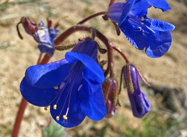 Desert Bluebells (1503)