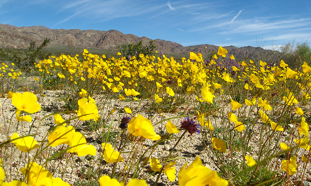 Desert Flowers (1495)