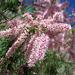 Tamarisk Flower (0194)