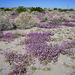 Verbena at San Andres Oasis (0180)