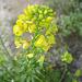 Yellow Flower (0230)