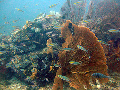 Goldstrip fusilier fishes and a fan coral