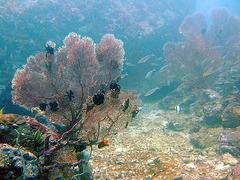 White fan corals in 15 meters