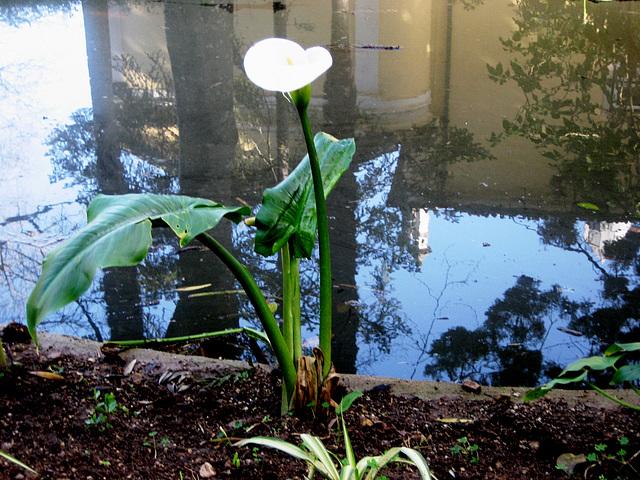 Coimbra, Quinta das Lágrimas, arum lily (3)