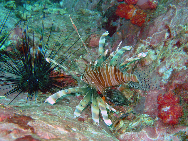 Lionfish and a sea star