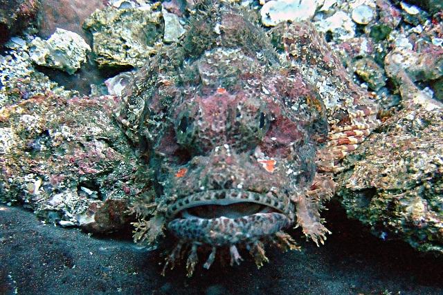 Bearded scorpoinfish