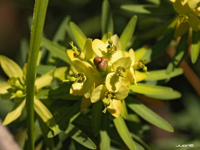 Flor de Tabaiba Dulce