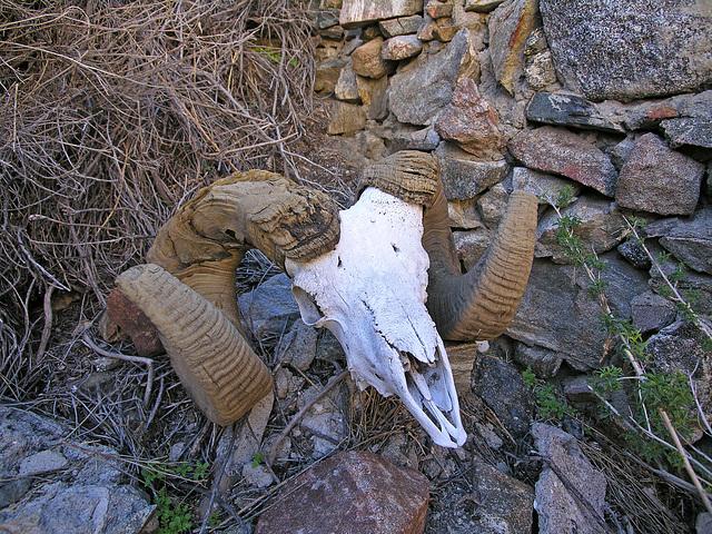 Chuckawalla Bill's Ram Skull (6939)