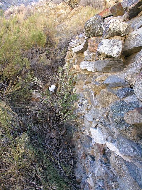 Chuckawalla Bill's Ram Skull (6944)