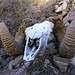 Chuckawalla Bill's Ram Skull (6970)