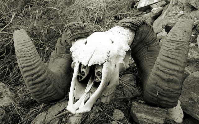 Chuckawalla Bill's Ram Skull (6970A)