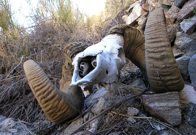 Chuckawalla Bill's Ram Skull (6971)