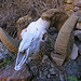 Chuckawalla Bill's Ram Skull (6972)