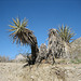 Yucca (9018)