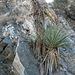 Yucca (9028)