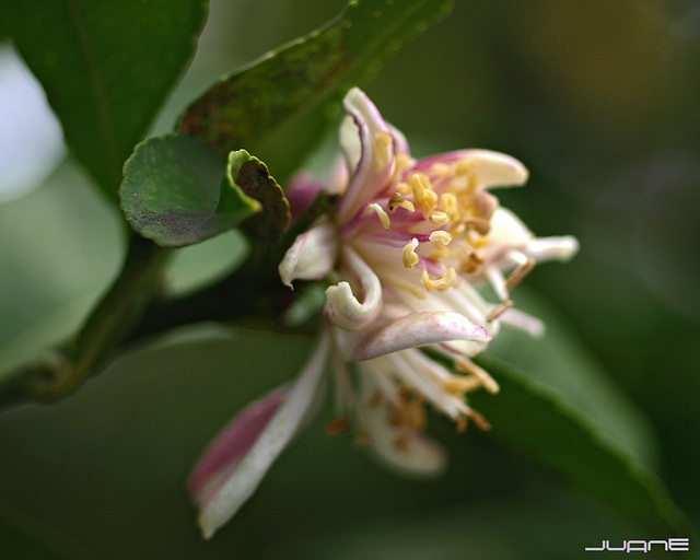 Flor de azahar, (Citrus Aurantium)