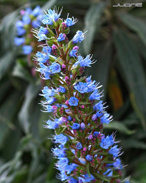 Tajinaste azul, (Echium callithyrsum)