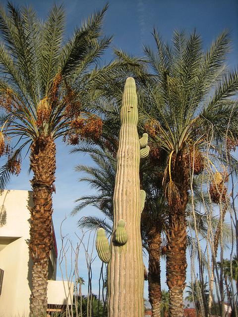 Saguaro (8970)