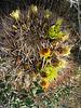 Barrel Cactus (0503)