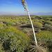 Dead Agave Flower Stalk (0504)