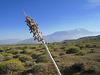 Dead Agave Flower Stalk (0505)